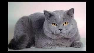 Самые красивые котята британцы. Смотрите  фото котиков