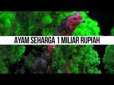 SUPER COCK, Ayam Petarung Seharga 1 MILIAR Rupiah |  HITAM PUTIH (08/02/19) Part 1
