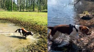 WELSH SPRINGER SPANIELS FASCINATED BY NATURE AND WATER