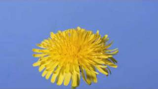 Time lapse Dandelion flower to seed head(Time lapse dandelion flower to seed head /dandelion clock filmed continuously over a period of one month. Filmed for my website ..., 2010-06-06T22:07:12.000Z)