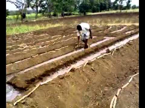 Plantation in water Sugarcane