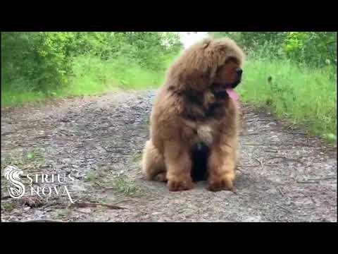 Tibetan mastiff - AVAILABLE 4,5 months old boy