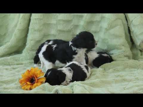 4 Cavapoo Puppies For Sale!