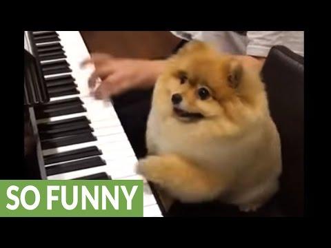 Pomeranian is a piano prodigy