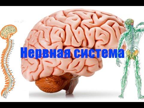 Анатомия анатомический атлас человека Строение человека