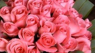 Выращивание роз. Как выращивать розы?