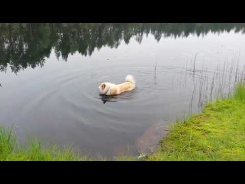 The summer of Finnish Lapphund