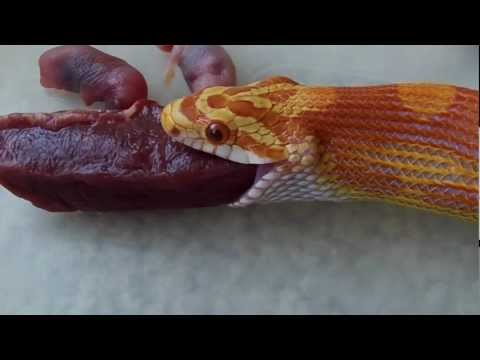 Corn Snake Eating Beef Heart And Mice Pinkies