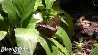 Siproeta epaphus trayja - Rusty-tipped Page (Victorinini) Black Butterfly