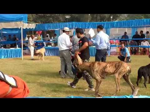 Dog show in Lucknow (K.C.I DOG SHOW)