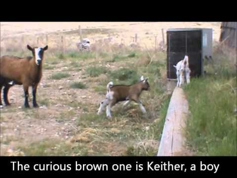 Mule meets baby goat kids-very funny