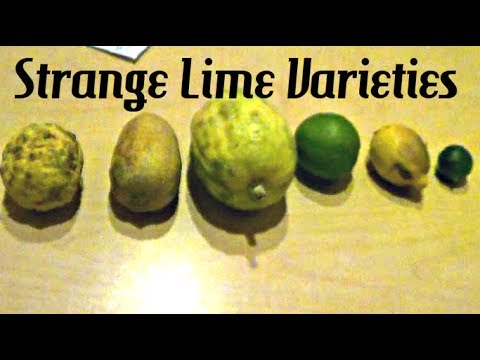 Strange Lime Varieties - Weird Fruit Explorer in Malaysia Ep. 40