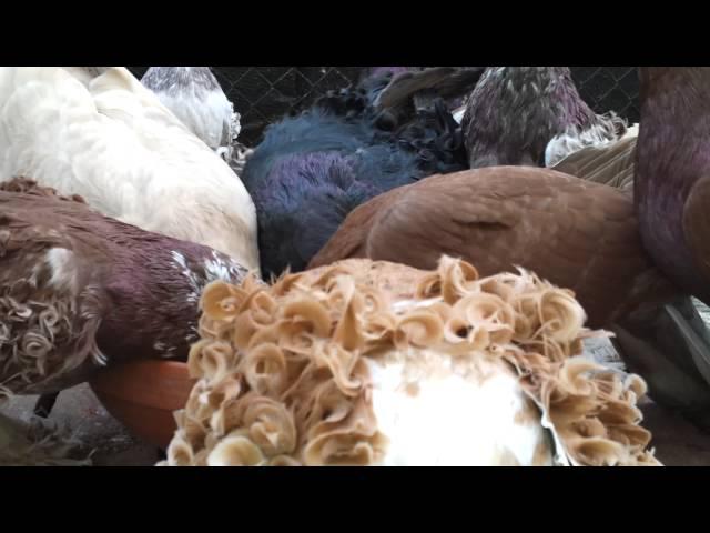 I miei colombi...i piu bei piccioni del mondo