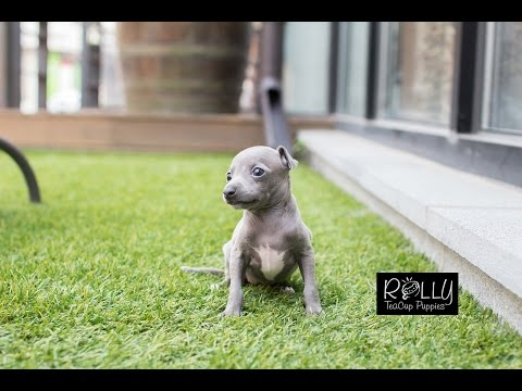 Amazing Italian GreyHound Betty - Rolly Teacup Puppies