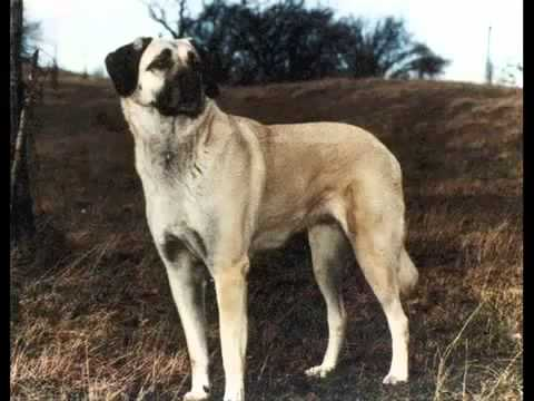 the strongest dog of the world kurdish kangal dog youtube. Black Bedroom Furniture Sets. Home Design Ideas