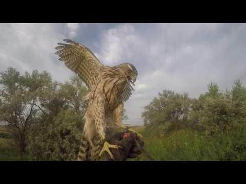 Falconry-Pheasant Hawking: Moma Gos on Pheasant #2