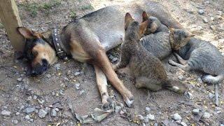 รักต่างสายพันธุ์ แม่สุนัขนอนให้ลูกแมวดูดนม