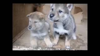 四国犬 H28.9.4生まれのオス2 可愛い盛りです。只今販売中!! マ...