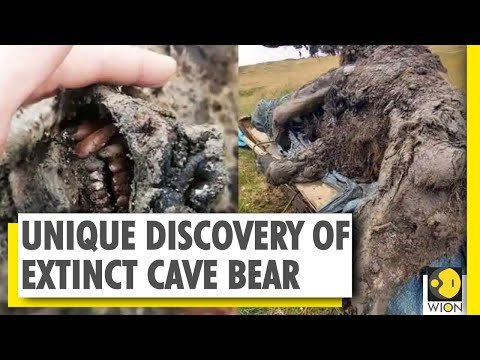 Russia: 39,000-year-old cave bear's remains found intact in Siberia | World News | WION News