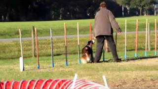 English Springer Spaniel   Michele-agility