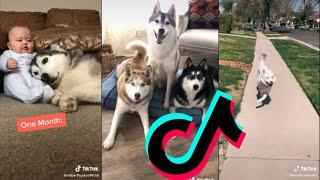 Sweetest & Funniest Husky's TikTok Compilations #1   Dogs Of Tiktok