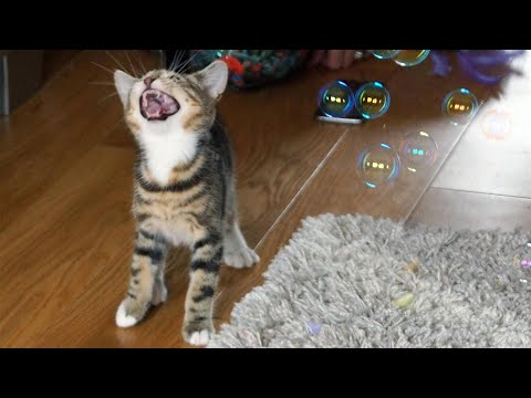 Funny Cats and Kittens Playing With Bubbles – Funny Cat Videos