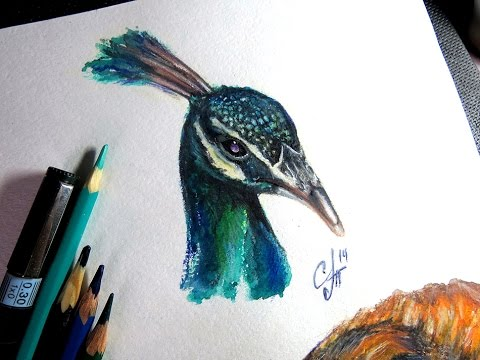 Peafowl pencil aquarelle speed drawing