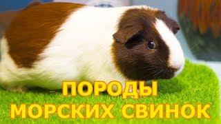 Породы морских свинок | Виды морских свинок