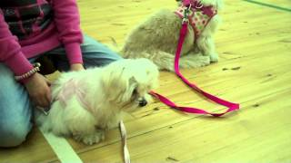 Mia The Maltese Puppy At Training