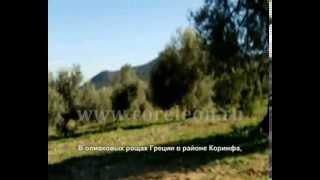 Сбор оливковых плодов в Коринфе(http://www.coreleon.ru Сбор оливковых плодов в Коринфе происходит каждый год с начала ноября по конец января. Именно..., 2013-08-28T19:21:03.000Z)