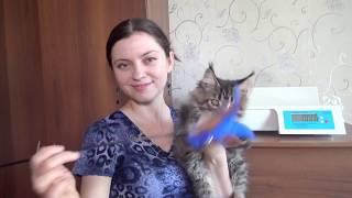 ЛИРИКУМ Интим Мордович 3  месяца / котенок-тигренок мейн-кун