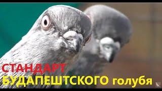 СТАНДАРТ и происхождение Будапештского голубя