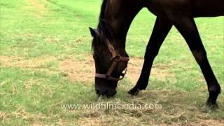 Indian winning race horse source : Nakul Stud Farm