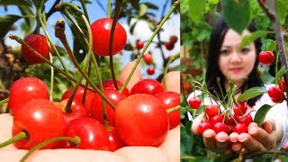 World's Most Expensive Cherry ? Amazing Tasty Sweet Japanese Cherries Fruit Tree