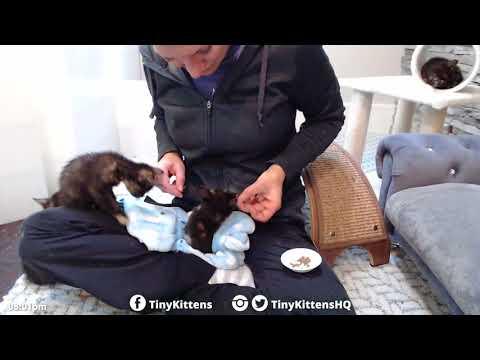 Man-eater kitten!TinyKittens