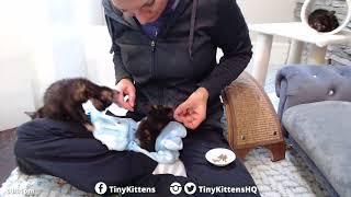 Man-eater kitten!  TinyKittens.com