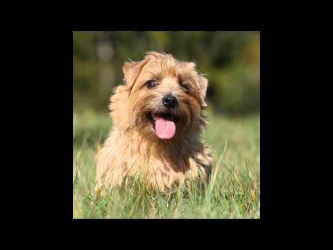 Норфолк   Терьер/Norfolk Terrier (порода собак HD slide show)!