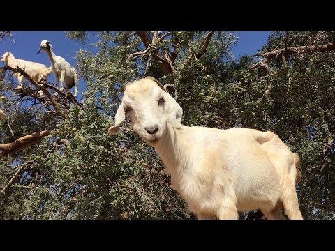यहां दर्जनों की संख्या में भेड़ - बकरियां पेड़ों पर चढ़ जाती हैं - देखें विडियो