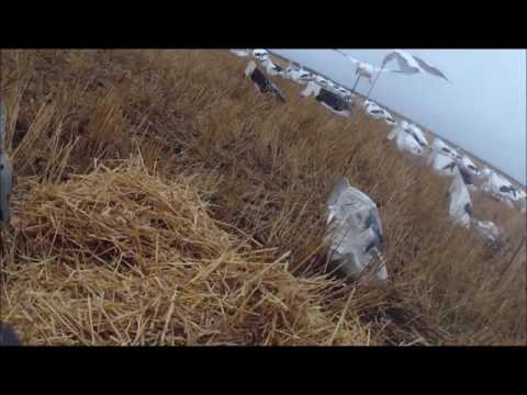 100 snow geese 2 man limit  point of view camera