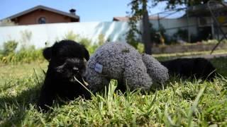 Allevamento Ondenere - Cuccioli Di Schnauzer Nano Nero 26/6/2013