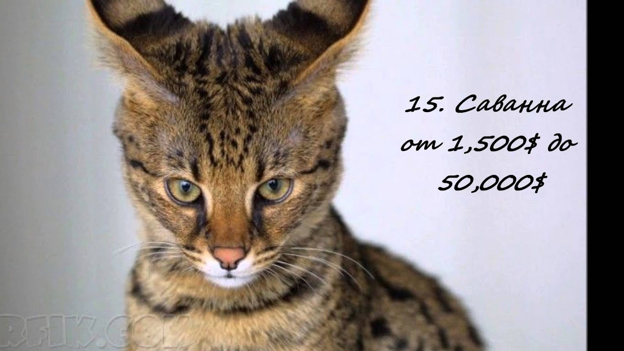 Самые дорогие кошки мира