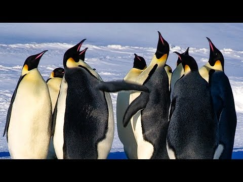 Emperor Penguins Fight Over Mate | BBC Earth