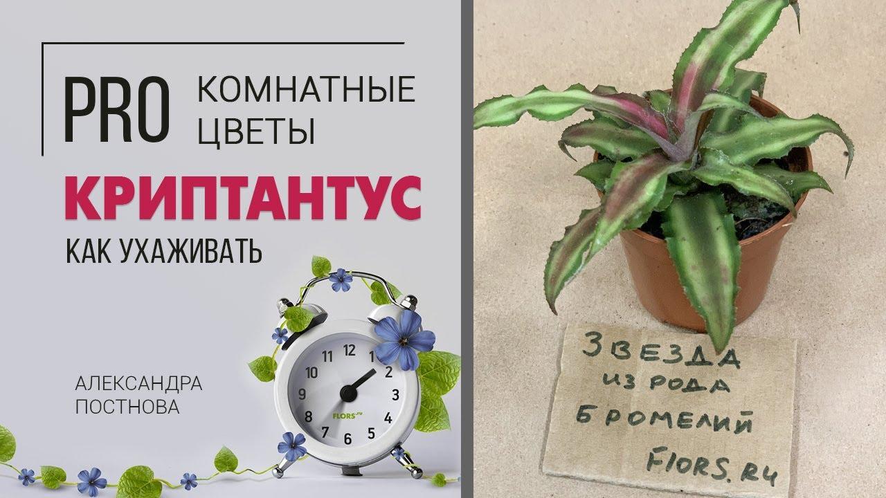 Криптантусы - звезда среди бромелиевых. Неприхотливое комнатное растение.