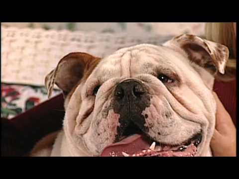 bulldog utube the english bulldog breed profile from new you network 9471
