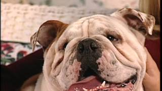 The English Bulldog Breed Profile From New You Network
