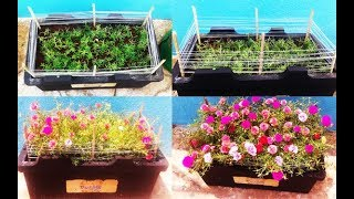 How to get more flowers on Portulaca..