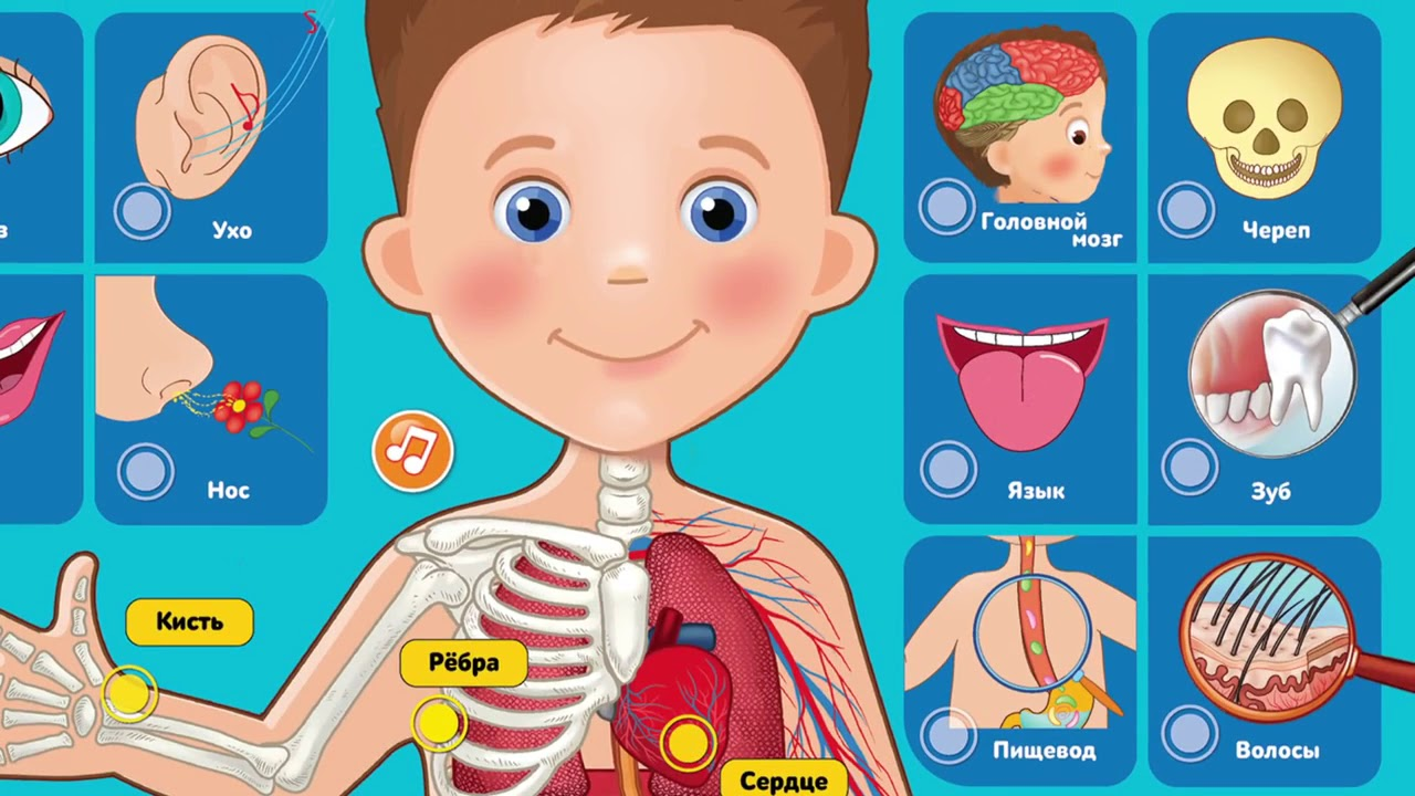 Строение человеческого тела картинки для дошкольников