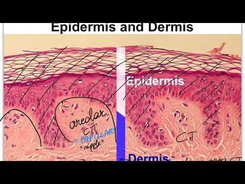 05D Integumentary System Dermis