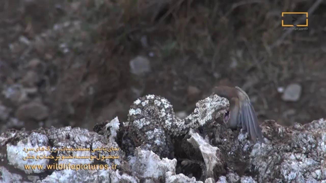 動画】「ニセのクモ」で鳥をだま...