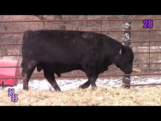 New Haven Angus Lot 28